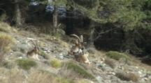 Spanish Ibex Resting In Forest Clearing