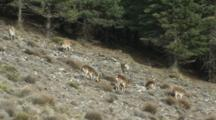 Spanish Ibex Feeding In Forest Clearing