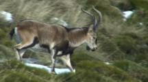 Spanish Ibex Ram Walking Rapidly Down Hill