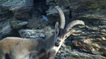 Spanish Ibex Ram Watching Nervously