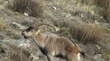 Spanish Ibex Ram Courtship Display