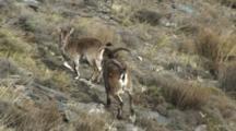 Spanish Ibex Ram Following Ewe Displays When Ewe Turns