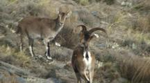 Spanish Ibex Ram Courting Ewe Rejecting Advance