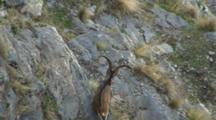 Spanish Ibex Large Ram In Cliffs Exits