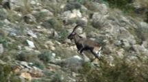 Spanish Ibex Large Ram Climbing Through Rocks