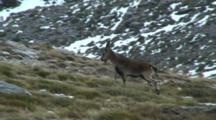 Spanish Ibex  Ram Walking Exits