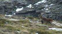 Spanish Ibex  Ram Walking Looks Across Valley Then Walks On
