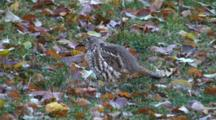 Spruce Grouse Hen Feeding On Fall Leaves