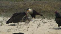 Northern Caracara Stealing Pelican Carcass From Turkey Vultures
