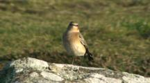 Northern Wheatear On Rock Exits
