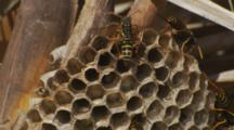 Asian Paper Wasp Cooling Nest By Beating Wings