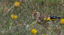 Goldfinch Juvenile Feeding On Seeds In Pasture