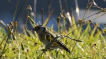 Goldfinch Perching On Stalk Feeding On Seeds In Pasture