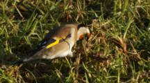 Goldfinch Feeding On Seeds In Pasture
