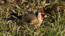 Goldfinch And Yellowhammer Feeding On Seeds In Pasture