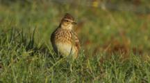 Skylark In Sun On Dew Covered Grass