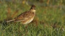 Skylark In Sun On Dew Covered Grass Flies Away