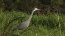 White-Faced Heron Hunting And Catching Crickets In Long Grass Catches Two