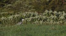 White-Faced Heron Hunting Crickets In Long Grass Catches Two