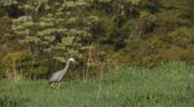 White-Faced Heron Hunting Crickets In Long Grass With Rhythmic Neck Movement