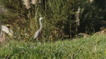 White-Faced Heron Hunting Crickets In Long Grass Walking To Camera