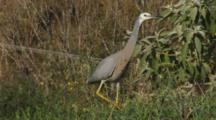 White-Faced Heron Hunting Crickets In Long Grass With Rhythmic Neck Movement Catches One Then Exits