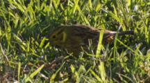 Yellowhammer Feeding On Seeds In Pasture Extracting Seed