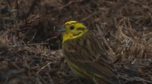 Yellowhammer Feeding On Seeds In Pasture In The Rain Exits