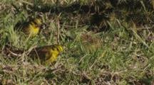 Yellowhammer Small Group Feeding On Seeds In Pasture Most Exit