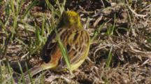 Yellowhammer Feeding On Seeds In Pasture Closeup Exits