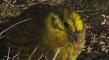 Yellowhammer Feeding On Seeds In Pasture Closeup