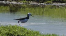 Black-Winged Stilt Wading In Small Pond Enters Then Exits Frame