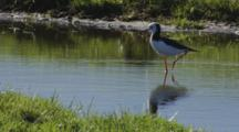 Black-Winged Stilt With Reflection Standing On One Leg Drying Foot By Shaking It