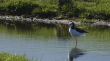 Black-Winged Stilt With Reflection Standing On One Leg Grooming