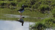 Black-Winged Stilt With Reflection Feeding In Small Pond