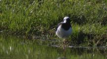 Black-Winged Stilt With Reflection Standing On One Leg Resting