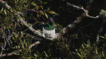 New Zealand Pigeon Resting In The Sun In Forest Canopy Grooming