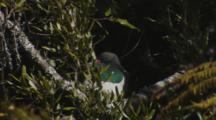 New Zealand Pigeon Resting In The Sun In Forest Canopy