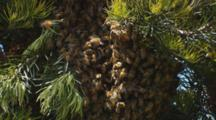 Honey Bee Swarm Closeup