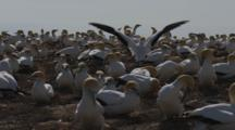 Gannet Breeding Colony Pan