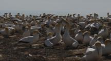 Gannet Breeding Colony Greeting Display