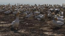 Gannet Breeding Colony One Bird Walks To Camera