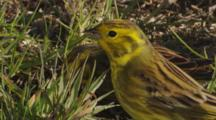 Yellowhammers Feeding On Seeds In Pasture Closeup Exits