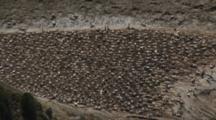 Gannet Breeding Colony