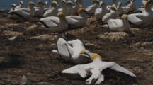 Gannet Breeding Colony Two Males Fighting Over Mate
