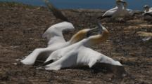 Gannet Breeding Colony Two Males Fighting Over Mate Slow Motion