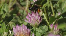 Bumble Bee Carrying Pollen Feeding On Red Clover Flower
