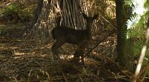 Fallow Deer Fawn In Forest Nervous Of Camera Walks Away