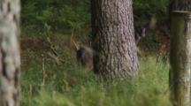 Fallow Deer Doe Inside Forest Edge Nervously Watching Spots Cameraman And Flees