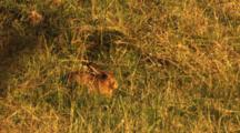 European Hare Resting In Morning Sun